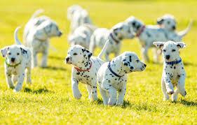 Puppy training - Best Paw Forward Bathurst