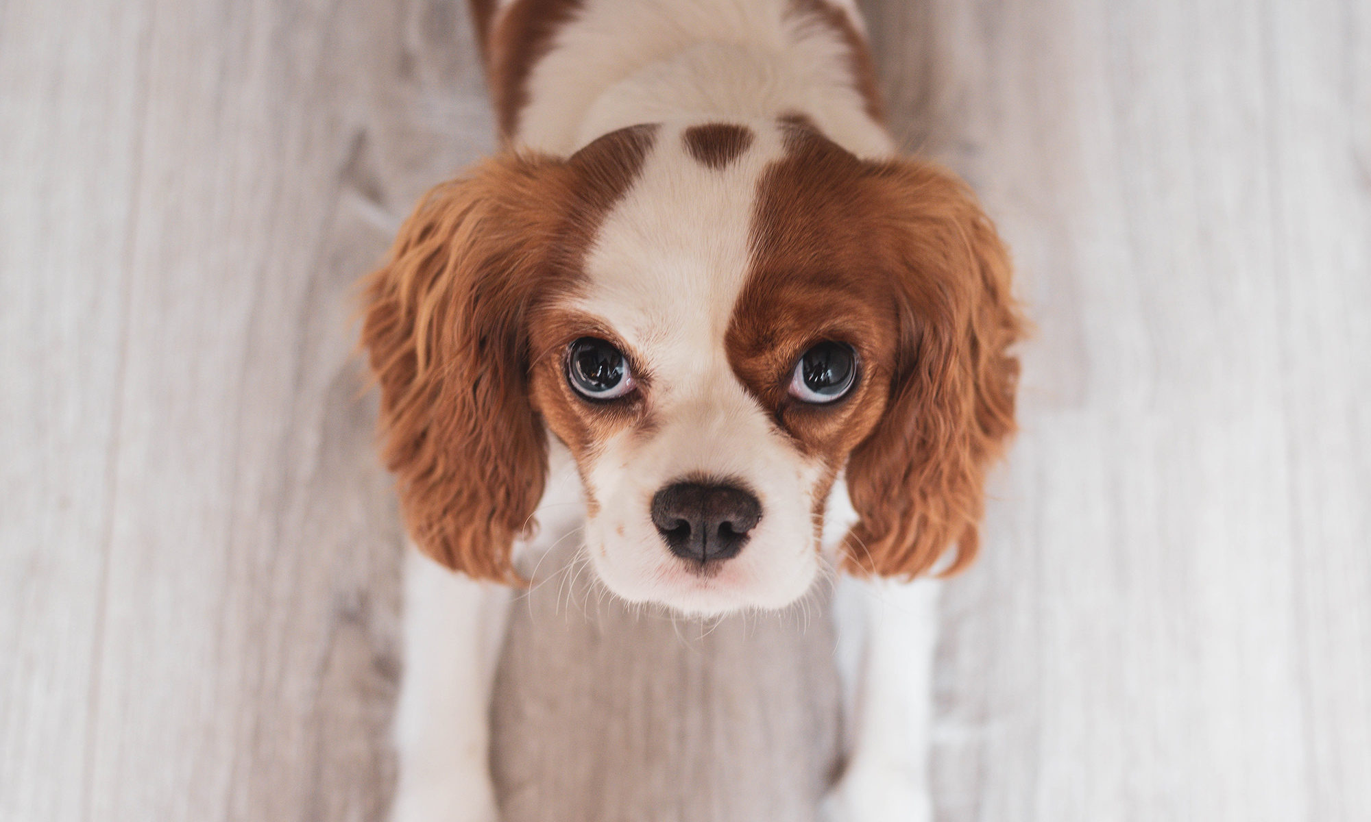 puppy program best paw forward bathurst